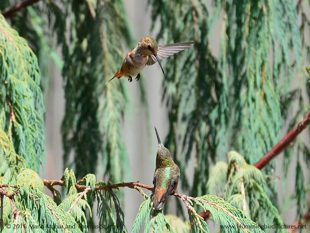 One hummingbird hovers over another