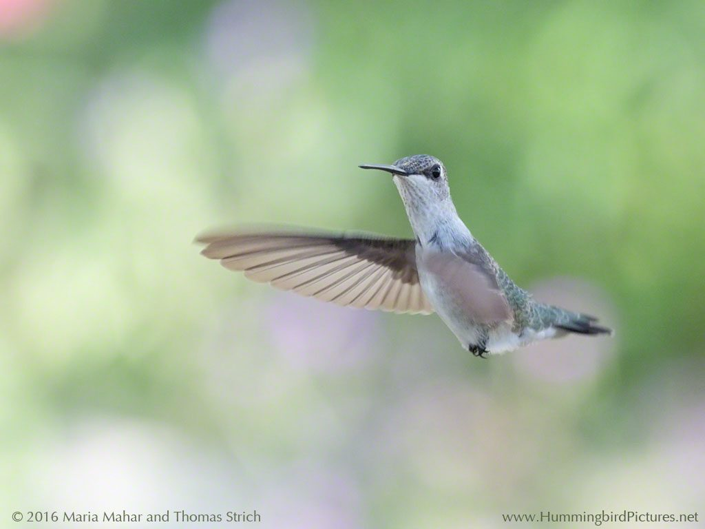 A pale hummingbird hovers in midair, looking at the camera