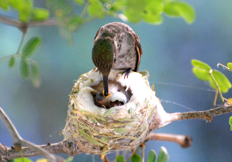 HUmmingbird mother bends over to feed newly hatched baby