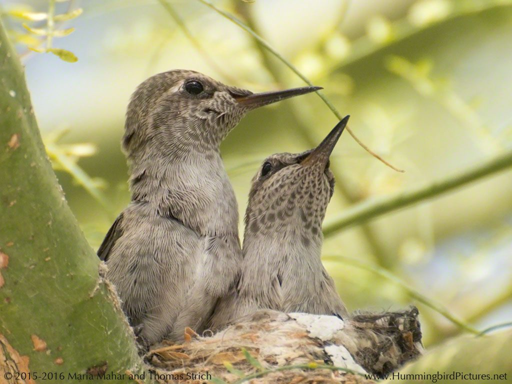 Two hummingbird chicks look alert in their nest