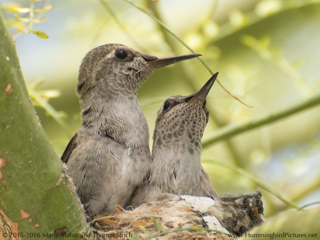 The Baby Hummingbird. Captured in photos.