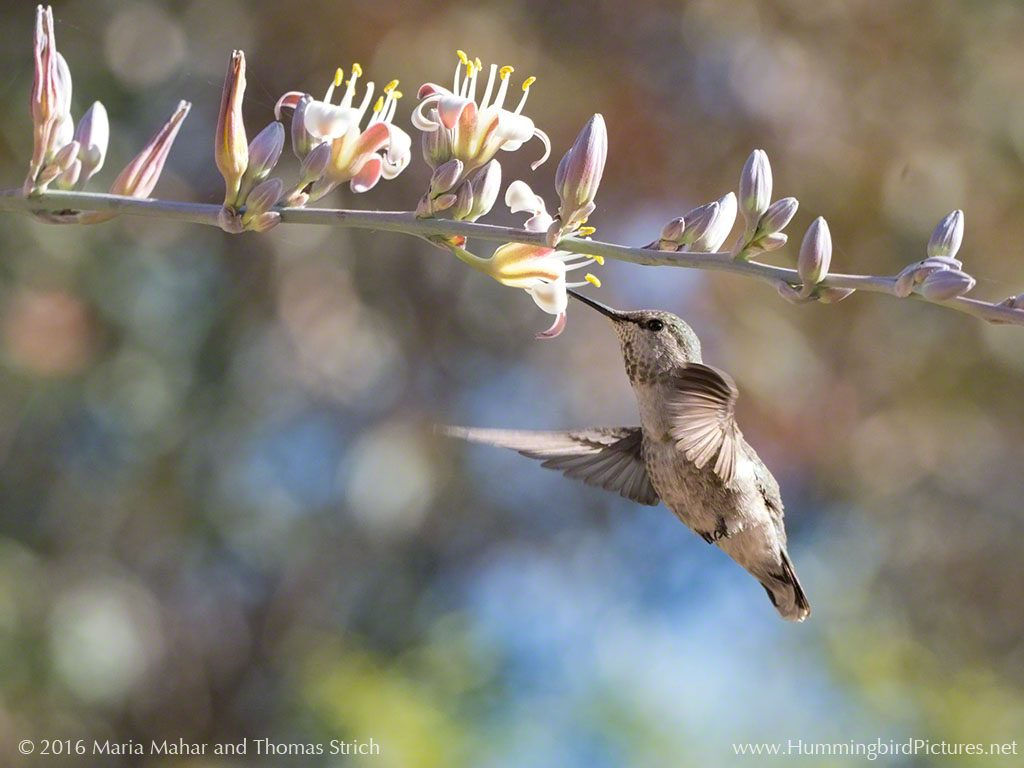 Photo by Hummingbird Pictures. A hummingbird hovers below pink and white blossoms