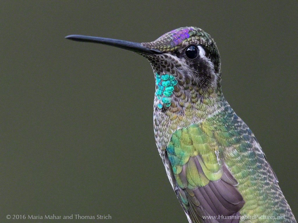 An immature male Magnificent Hummingbird perches. The start of an aqua gorget and purple crown are visible