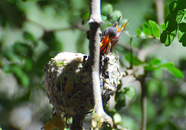 Two Anna's hummingbird chicks in nest with necks outstretched and beaks open