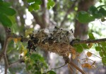 Hummingbird nest picture shows empty nest from side after chicks