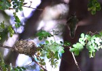 Hummingbird nest picture shows nest with female departing in background