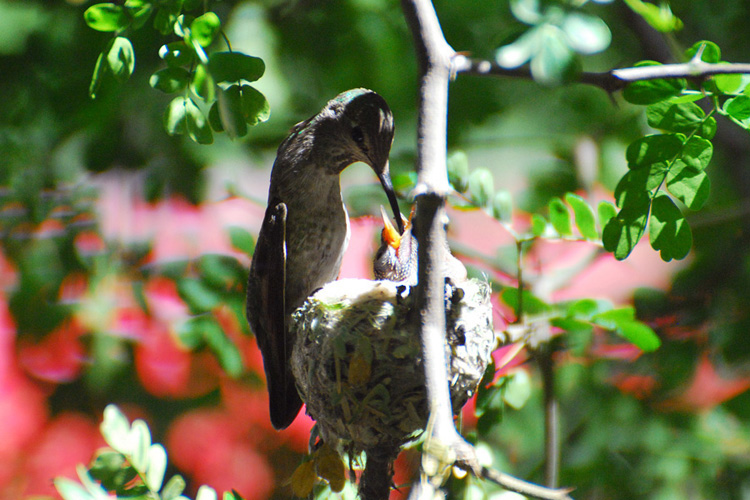 An Anna's Hummingbird mother feeds her very young chicks in the nest