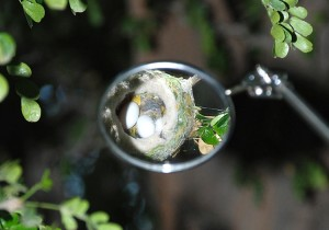 Hummingbird nest picture with nest and eggs visible