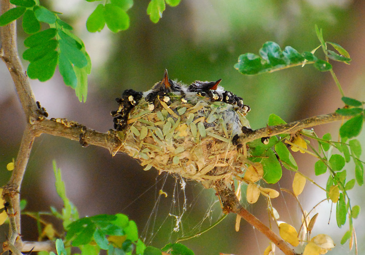 Hummingbird chicks in nest, resting with closed beaks pointing up