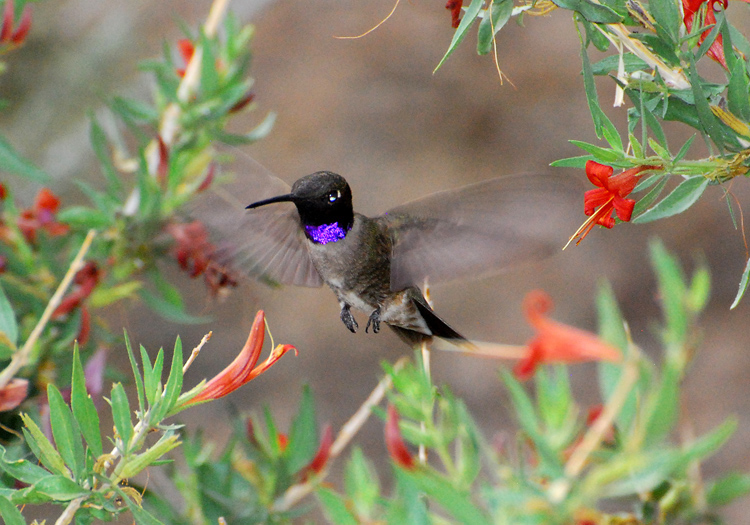 Picture of male Black-chinned hummingbird hovering in desert honeysuckle