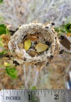 Hummingbird nest picture shows empty nest from above with a ruler for scale