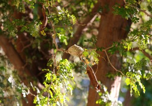 Anna's Hummingbird nest picture shows nest visible in Texas Ebony tree