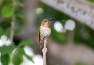 Picture of an Allen's Hummingbird using an upright stick as a perch
