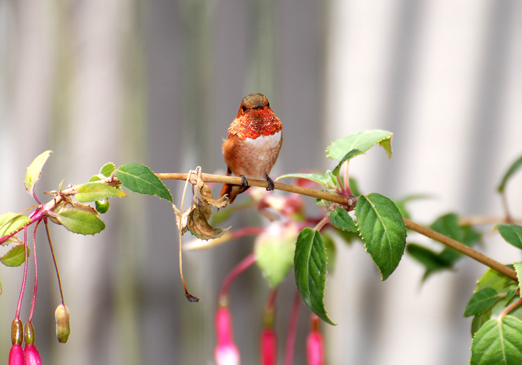 Allen's Hummingbird perches on a fuschia branch