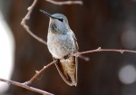 Picture of a female Anna's Hummingbird as she perches on a bare twig