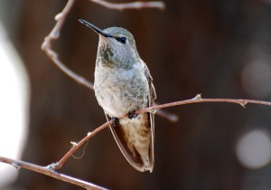 A female Anna's Hummingbird perches on a thin twig
