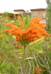 Picture of Lion's Tail bloom close up Southern California
