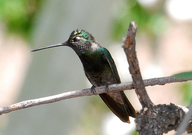 Picture of a Magnificent Hummingbird perched on bare branch