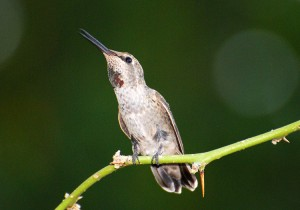 Picture of a young male Anna's Hummingbird as he sings while perched