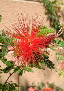 Red Fairy Duster blossom close up