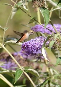 A Rufous Hummingbird hovers to feed from a cluster of tiny purple flowers
