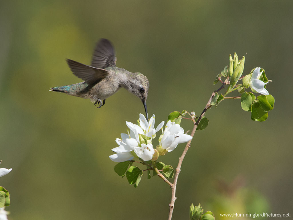 A Hummingbird Hover Above Cluster Of White Flowers To Feed