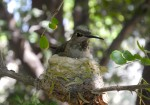 An Anna's Hummingbird sits on her nest. This Anna's Hummingbird nest has a hummingbird nest cam looking down on it.