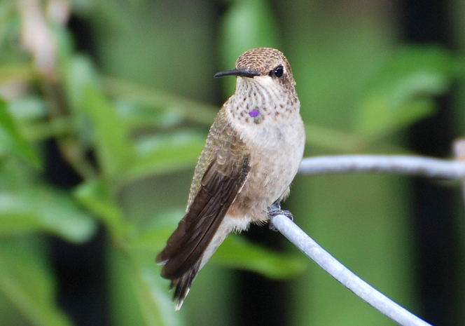 Female Black-chinned Hummingbird on a wire at Miller Canyon, AZ 2012