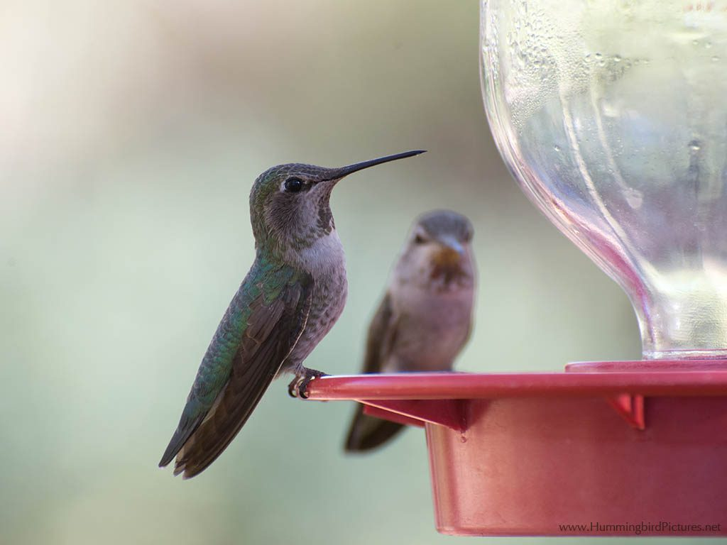 Close up picture of a hummingbird on a hummingbird feeder