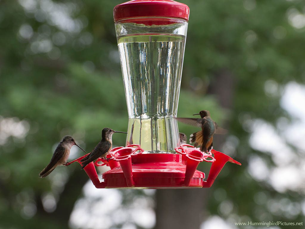 Several hummingbirds are on and around an extra large bottle style hummingbird feeder