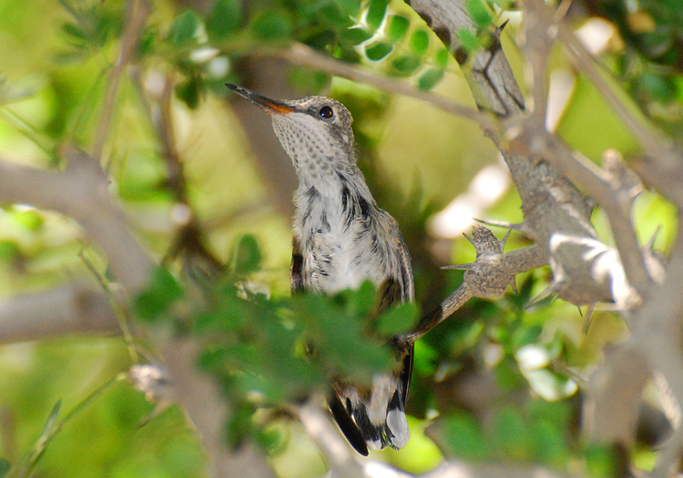 Hummingbird chick on a branch above the nest