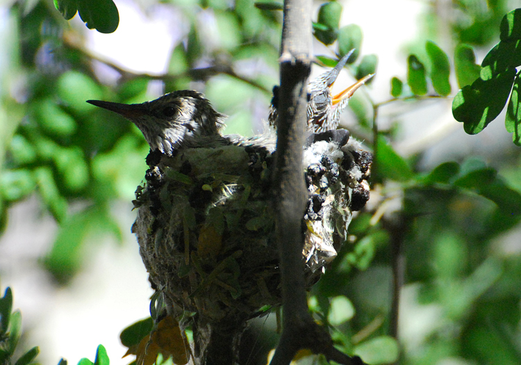 The hummingbird chicks getting bigger