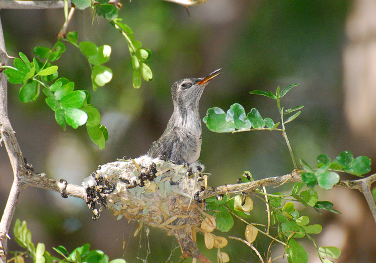 One hummingbird chick is left in the nest
