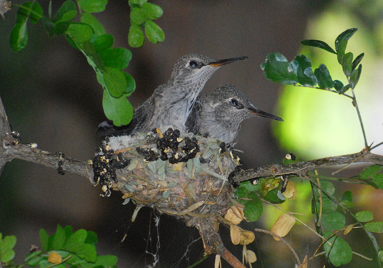 The Two Anna S Hummingbird Fill Nest