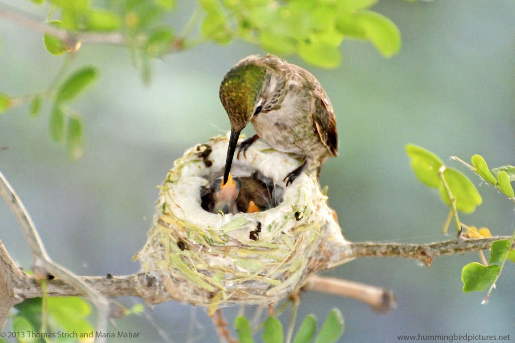 Picture of hummingbird nest cam babies being fed by mother