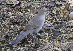 Picture of a Curve-billed Thrasher on the ground with something green in its beak