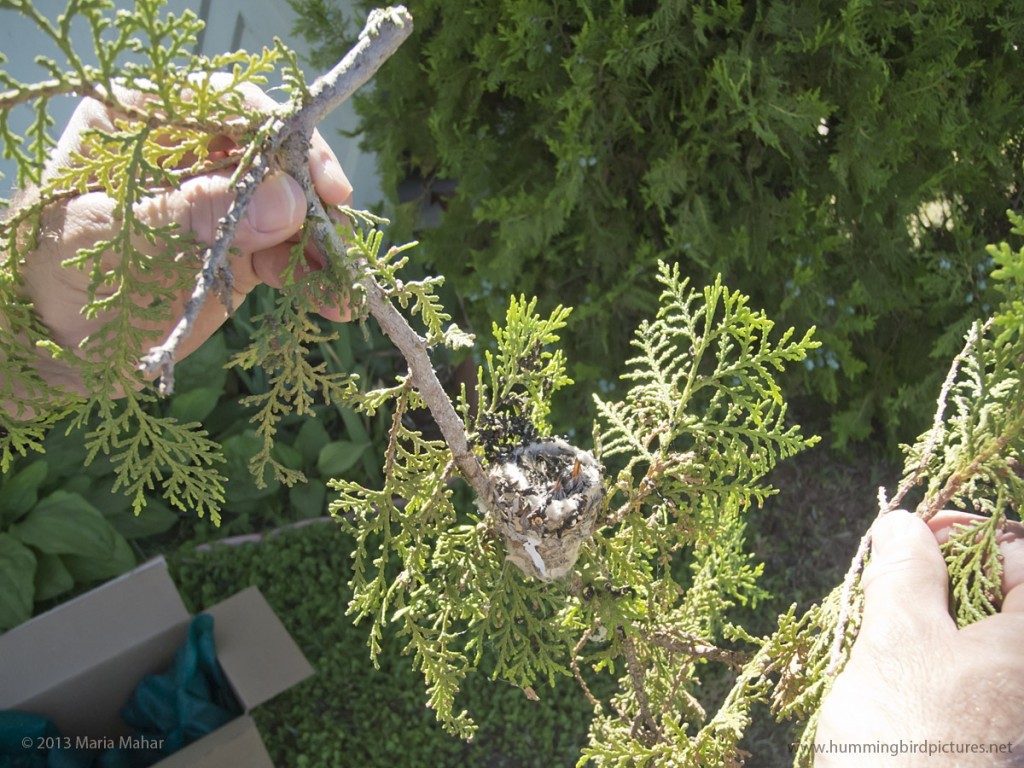Picture of a branch with a hummingbird nest and tiny hummingbird babies as the branch is held between a man's hands