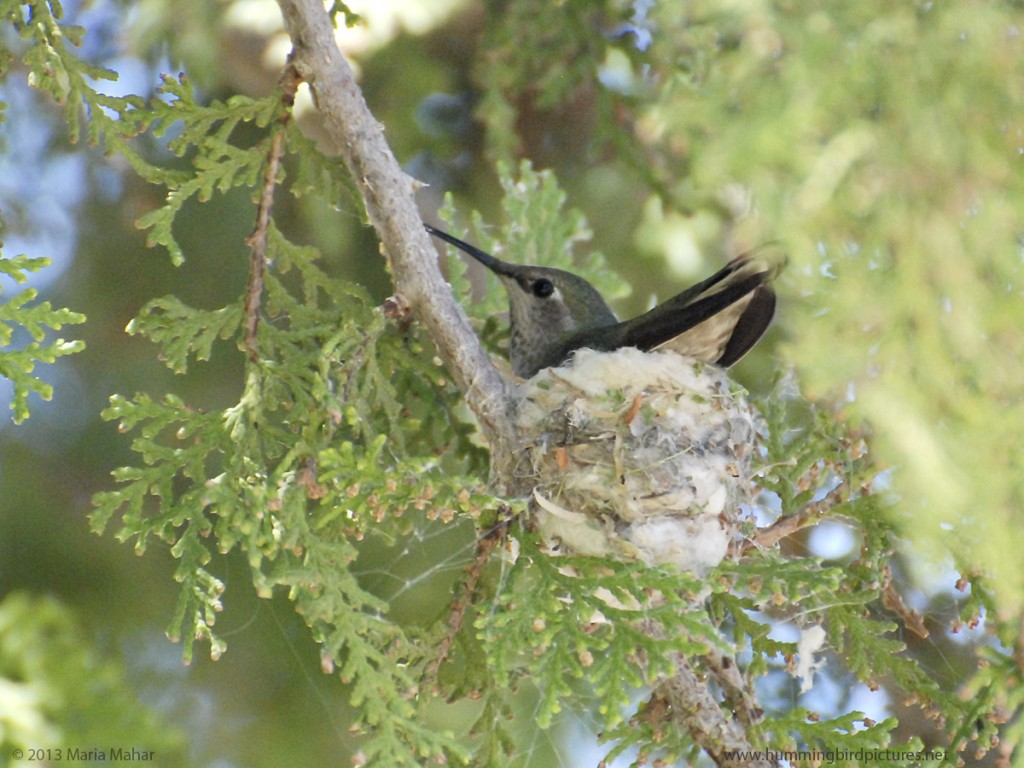 Picture of an Anna's Hummingbird on her new nest, looking to the side, with her tail to the camera.