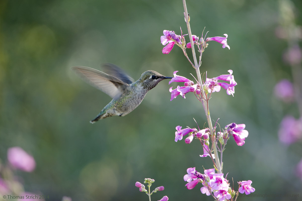 Hummingbirds at the Desert Botanical Garden