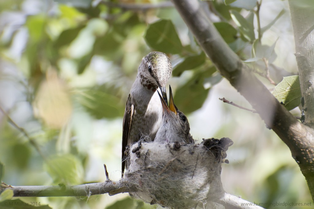Close up picture of hummingbird feeding its nestling
