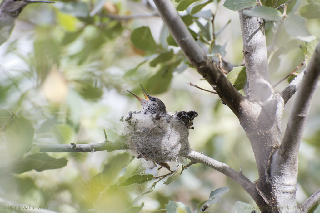 Picture of a baby hummingbird as it leans back in the nest and opens its beak. It is looking toward its mother as she flies toward the nest.