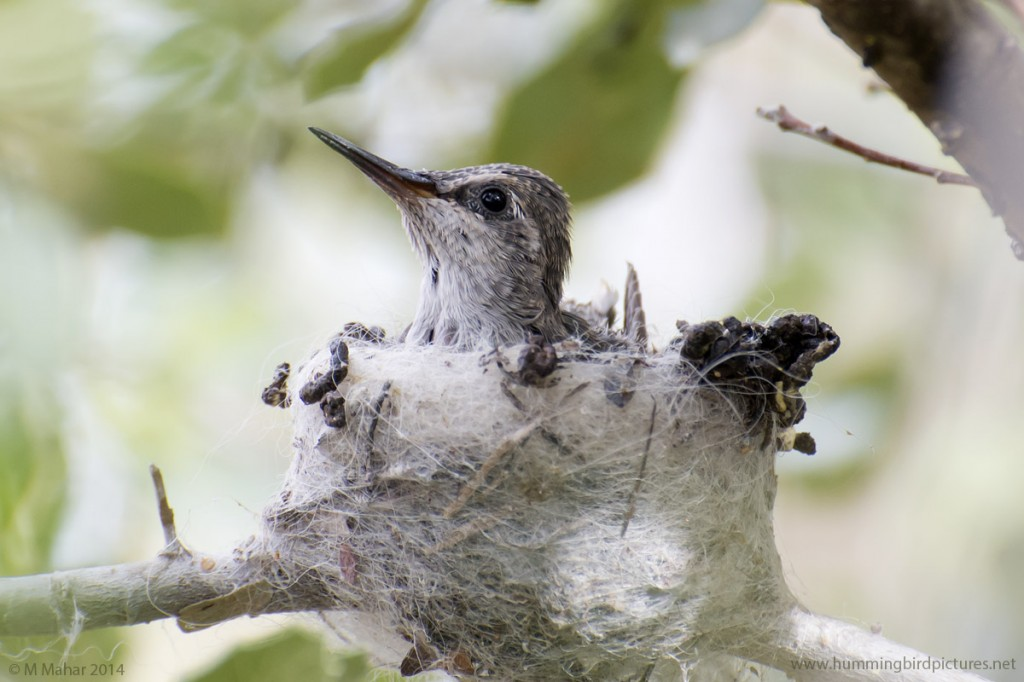 Close up picture of a baby Anna's Hummingbird peeking out of its nest in the Hummingbird Aviary.