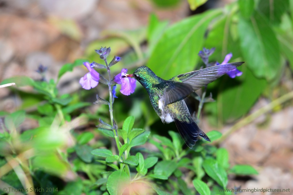View from the side and behind of a Broad-billed Hummingbird male feeding from pink flower