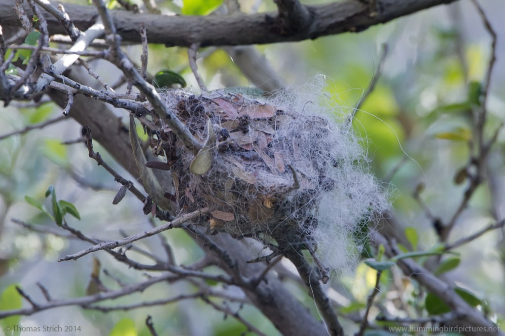 Close up picture of a hummingbird nest in the Hummingbird Aviary. No hummingbird is visible in the picture.