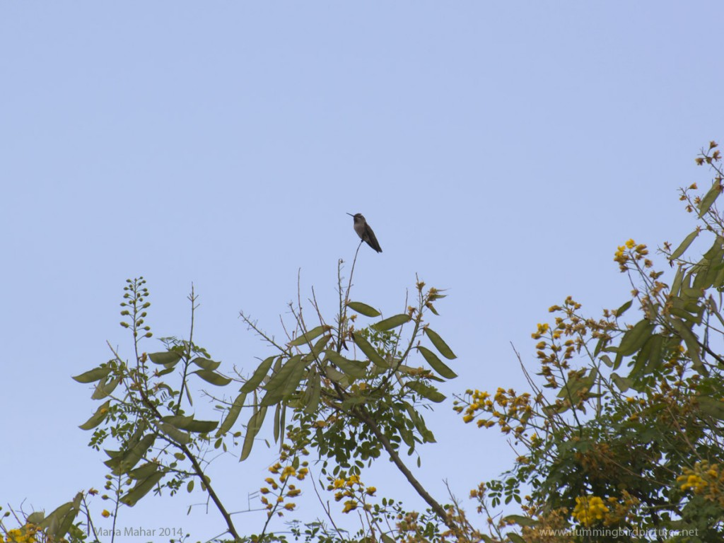 Picture of an Anna's Hummingbird against blue sky as she perches on the top of a tall plant