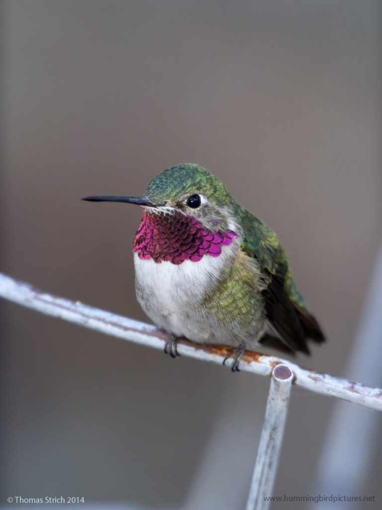 Close up picture of a Broad-tailed Hummingbird as he perches on a wire.