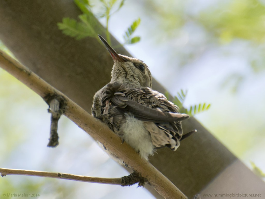 Picture of a fledgling hummingbird from below as it perches on a twig, looking to the side.