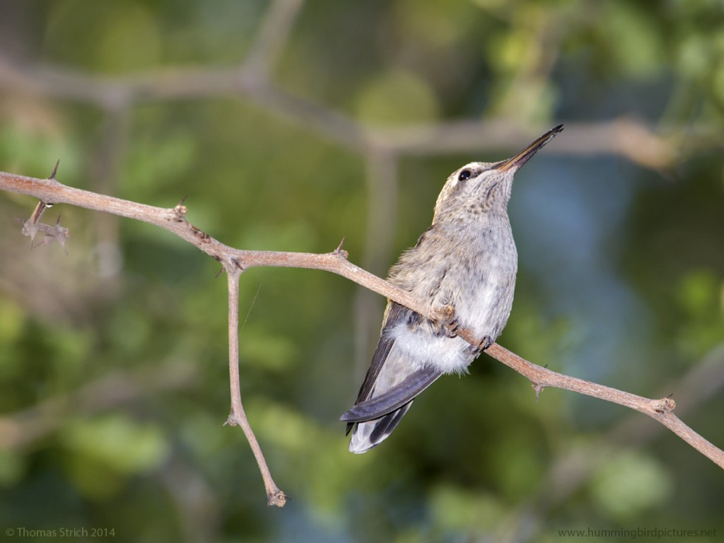 Close up picture of a young fledgling hummingbird sitting on a twig. The view of this Anna's Hummingbird is from below and to the side.