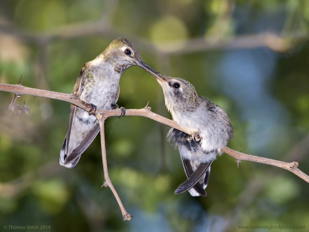 Close up picture of a mother feeding her fledgling hummingbird. The mother's beak in the fledgling's beak for feeding.