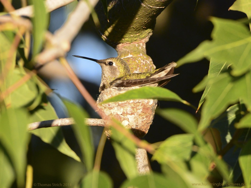 Picture of an Anna's Hummingbird on her new nest . The nest is surrounded by leaves.